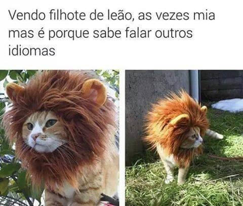 Vendo filhote de Leão  Vendo filhote de Leão
